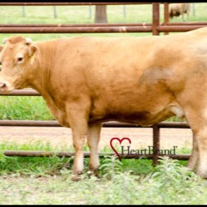 Donor Cow  –  H2426R